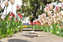 Photograph 4 of tulip of April 19