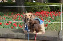 Photograph 1 of tulip of Yokohama Park  of March 17, 2020