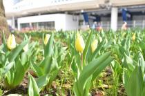 Photograph 2 of tulip of Yokohama Park  of March 17, 2020