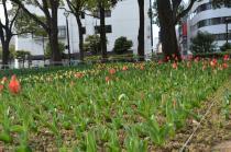 Photograph 3 of tulip of Yokohama Park  of March 17, 2020