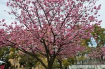 Photograph of yokohamahizakura of Yokohama Park  of March 17, 2020