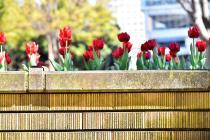 Photograph 3 of tulip of Yokohama Park  of March 24, 2020
