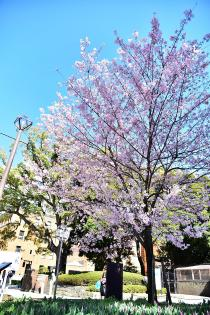 Photograph 1 of gin die Akebono of Yokohama Park  of March 24, 2020