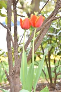 Photograph 3 of tulip of Yokohama Park  of March 26, 2020