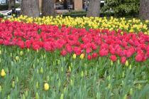 Photograph 4 of tulip of Yokohama Park  of March 31, 2020