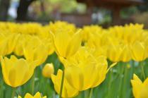 Photograph 1 of tulip of Yokohama Park  of April 3, 2020