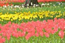 Photograph 4 of tulip of Yokohama Park  of April 3, 2020