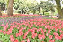 Photograph 3 of tulip of Yokohama Park  of April 7, 2020