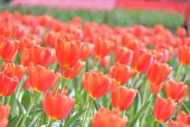 Photograph 4 of tulip of Yokohama Park  of April 7, 2020
