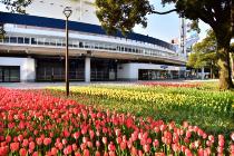 Photograph 4 of tulip of Yokohama Park  of April 10, 2020