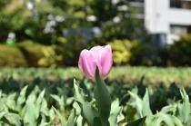 Fotografía 1 del tulipán del Parque del Yokohama del 15 de marzo de 2021