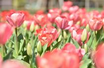 Fotografía 2 del tulipán del Parque del Yokohama del 15 de marzo de 2021