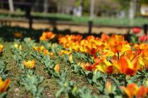 Fotografía 3 del tulipán del Parque del Yokohama del 15 de marzo de 2021