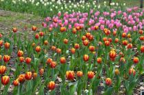 Fotografía 1 del tulipán del Parque del Yokohama del 22 de marzo de 2021
