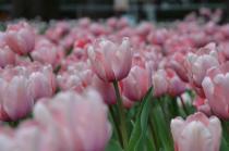 Fotografía 2 del tulipán del Parque del Yokohama del 22 de marzo de 2021