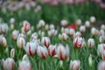 Fotografía 3 del tulipán del Parque del Yokohama del 22 de marzo de 2021