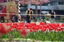 Fotografía 4 del tulipán del Parque del Yokohama del 22 de marzo de 2021