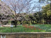 Fotografía 1 del tulipán del Parque del Yokohama del 26 de marzo de 2021