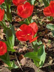 Fotografía 4 del tulipán del Parque del Yokohama del 26 de marzo de 2021