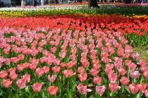 Fotografía 1 del tulipán del Parque del Yokohama del 31 de marzo de 2021
