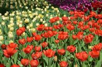 Fotografía 2 del tulipán del Parque del Yokohama del 31 de marzo de 2021
