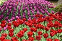Fotografía 3 del tulipán del Parque del Yokohama del 31 de marzo de 2021