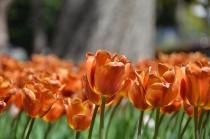 Fotografía 4 del tulipán del Parque del Yokohama del 31 de marzo de 2021