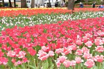 Fotografía 1 del tulipán del Parque del Yokohama del 6 de abril de 2021