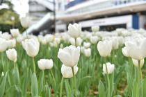 Fotografía 2 del tulipán del Parque del Yokohama del 6 de abril de 2021