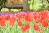 Fotografía 3 del tulipán del Parque del Yokohama del 6 de abril de 2021