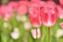 Fotografía 1 del tulipán del Parque del Yokohama del 8 de abril de 2021