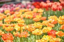 Fotografía 2 del tulipán del Parque del Yokohama del 8 de abril de 2021