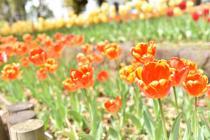 Fotografía 3 del tulipán del Parque del Yokohama del 8 de abril de 2021