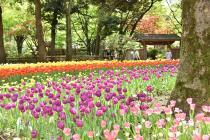Fotografía 4 del tulipán del Parque del Yokohama del 8 de abril de 2021