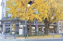 Photograph 3 of ginkgo of December 5