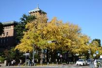 Photograph 3 of ginkgo of November 21