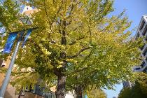 Photograph 1 of ginkgo of November 17