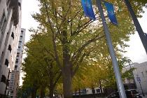 Photograph 4 of ginkgo of November 15