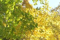 Photograph 3 of ginkgo of November 7