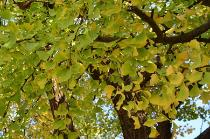 Photograph 4 of ginkgo of November 2