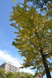 Photograph 4 of ginkgo of November 18