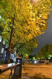 Photograph 3 of ginkgo of the night of November 25