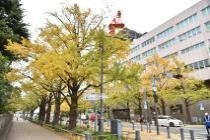 Photograph 3 of ginkgo of November 26