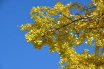Photograph 2 of ginkgo of December 3