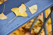 Photograph 4 of ginkgo of December 11