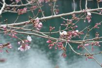 Photograph 3 of cherry blossoms of great Okagawa of March 17, 2020