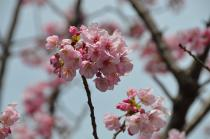 Photograph 4 of cherry blossoms of great Okagawa of March 17, 2020