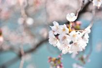 Photograph 1 of cherry blossoms of great Okagawa of March 26, 2020