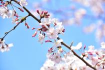 Photograph 2 of cherry blossoms of great Okagawa of March 26, 2020