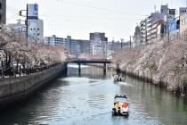 Photograph 4 of cherry blossoms of great Okagawa of March 26, 2020